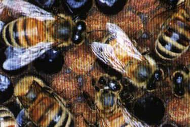 Africanized Bees: Better Understanding, Better Prepared