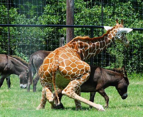 giraffedonkey