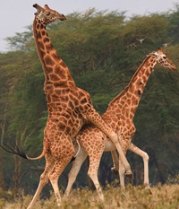 hornyanimals_giraffes