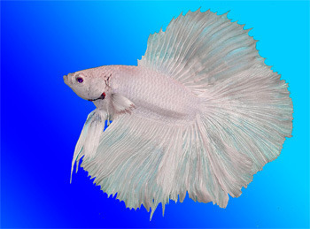 The 6 most horrifying pets we 39 ve bred into existence for What kind of fish can live with a betta