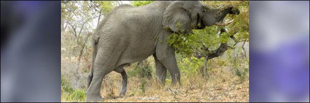 Elephant big dick