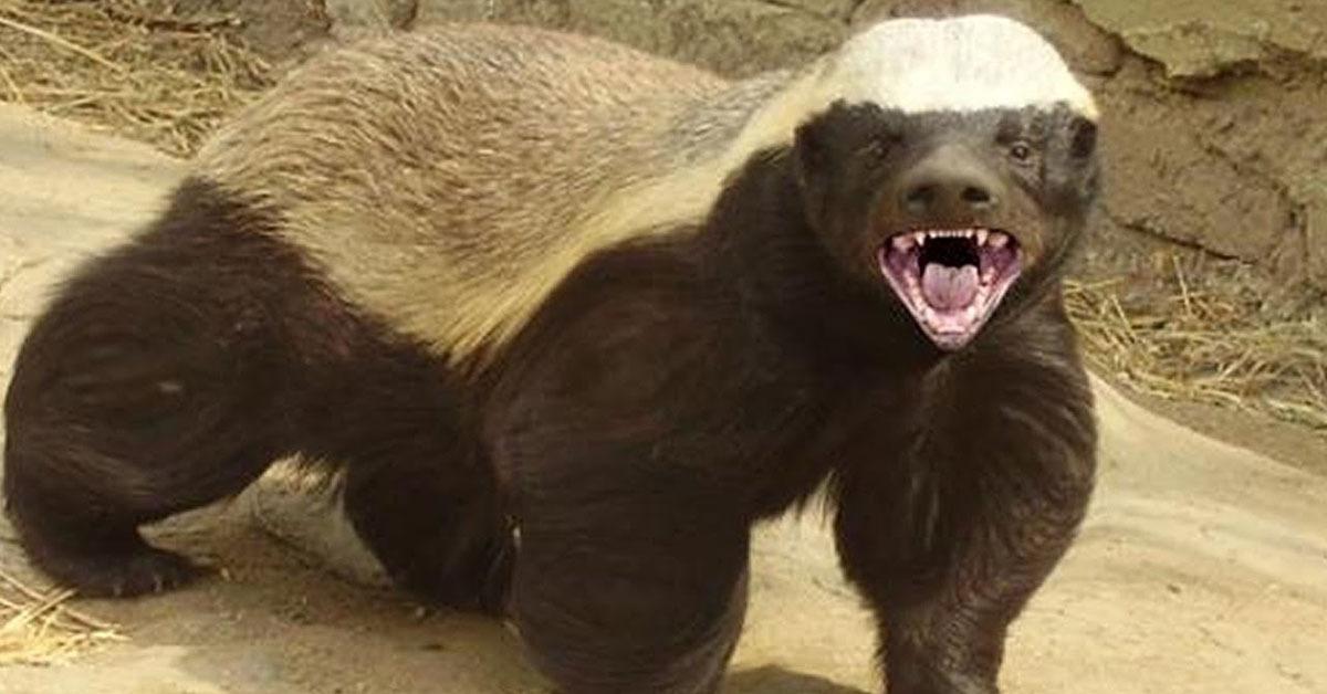 honey badger eats testicles