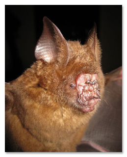 Terrifying Bats You Wont Believe Arent Photoshopped - 18 terrifying strange animals didnt even know existed