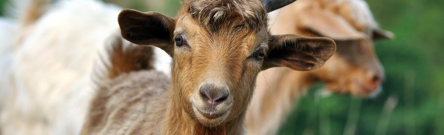Want The Best Job Of The 21st Century? Learn To Herd Goats