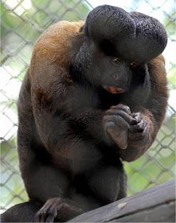 Monkey With Big Dick