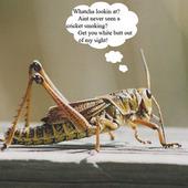 Crickets Cracked photo