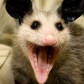 Awesome-Possum Cracked photo