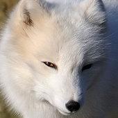 Antarctic_Fox Cracked photo