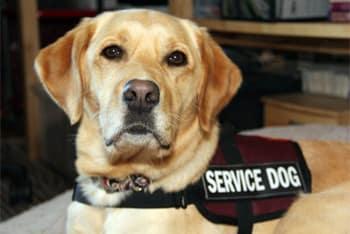 「Service Dog」的圖片搜尋結果