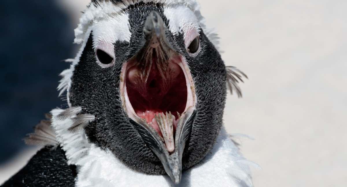 фото рта пингвина многих