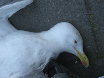 dead seagull noordeinde, leiden