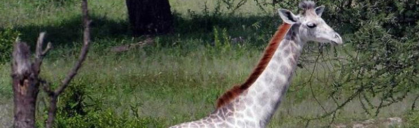 This All-White Giraffe Looks Insanely Cool