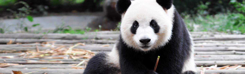 A Zoo Is Bribing A Weird Panda With Sex