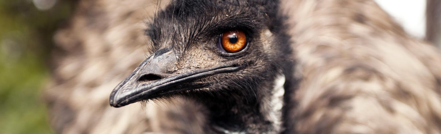 The Australian Army Once Went To War With Emus (And Lost)