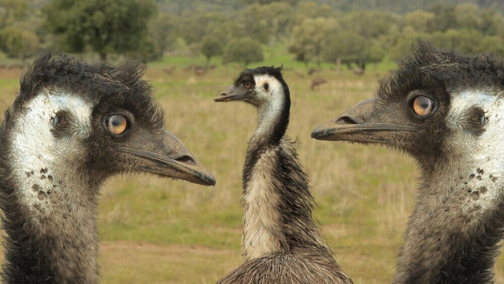 The Great Emu War: Australia's Most Embarrassing Defeat