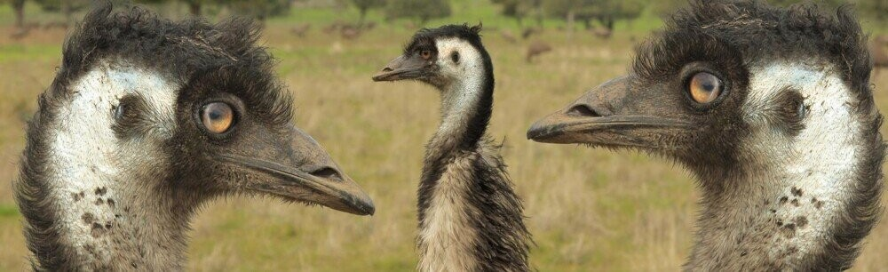 The Great Emu War: Australia's Most Embarrassing Defeat