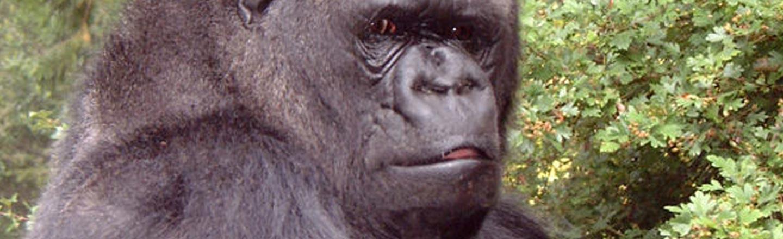 The  Bizarre Nipple Obsession Of Koko The Gorilla