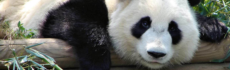 Pandas Will Do It, News Will Report On It