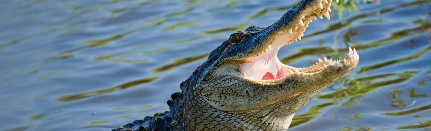 Calming Down An Angry Alligator Is Way Easier Than You Think
