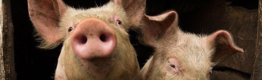 5 Pig Facts That Prove They'll Rule The Earth Someday