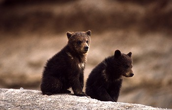 Two grizzly bear cubs.
