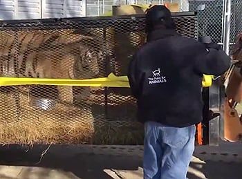 He currently lives there with two other rescued tigers, because <i>GOOD LORD, TEXANS, THESE ARE NOT PETS.</I>