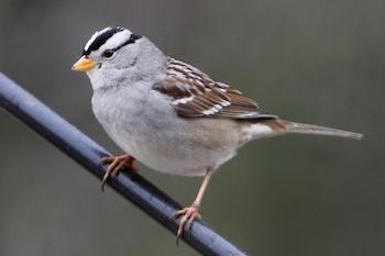 5 Crazy Science Stories That Flew Under Everybody's Radar - a white-crowned sparrow