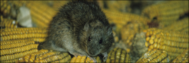 5 Reasons Rats Are Way Scarier Than You Think