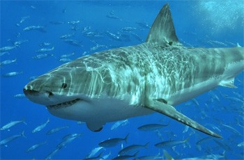 5 Real Horror Stories Ordinary People Got Trapped In - a shark swimming past a school of fish