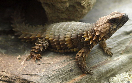 1000+ images about Armadillo-Girdled-Lizard on Pinterest