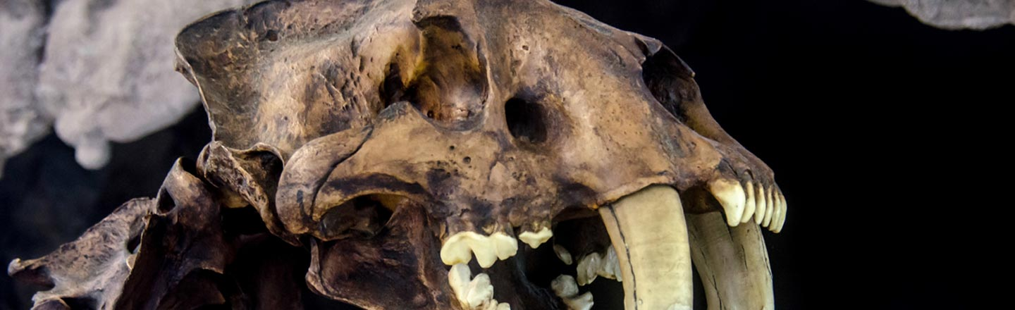 The Descendant Of The Saber-toothed Tiger May Disappoint You