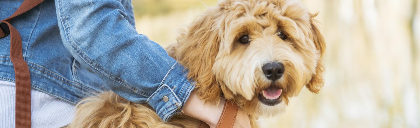 I've Created A Monster, Says Man Who Made The Labradoodle
