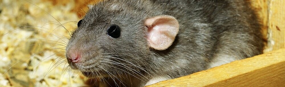 The Professional Rat-Catchers That Made Pet Rats A Thing