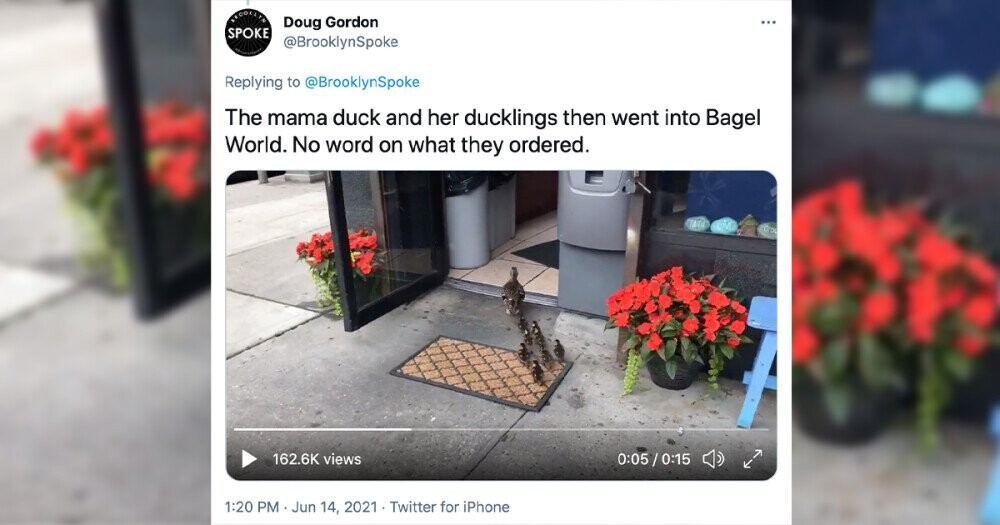 Mama Duck Leads Ducklings on Bagel Adventure In NYC