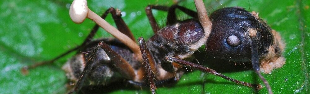 The Horror Show That Are Fungus Ant Zombies