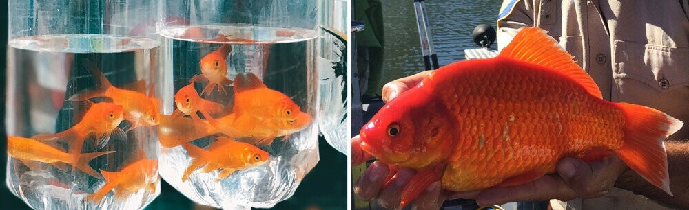 Dumping Pets In Ponds Is Creating Schools Of Mega-Predators