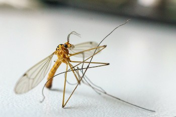 5 Crazypants Scientific Discoveries (Happening Right Now) - a mosquito against a white backdrop