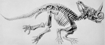 5 Crazypants Scientific Discoveries (just happening) - a Ceratops dinosaur skeleton