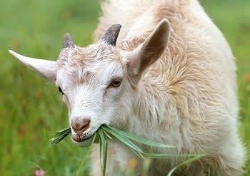 <i>Who you gonna call? Goat Brushers!</i>