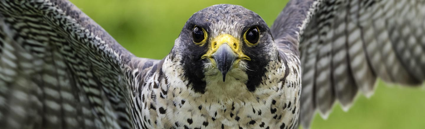 Boeing's 737 Debacle Now Extends To A Pair Of Nesting Falcons