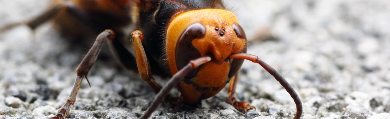A Cracked Primer On That Murder Hornet