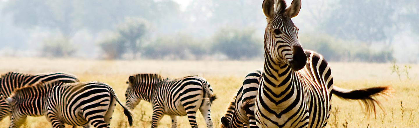 Why Do Zebras Have Stripes? Turns Out We Have No Idea
