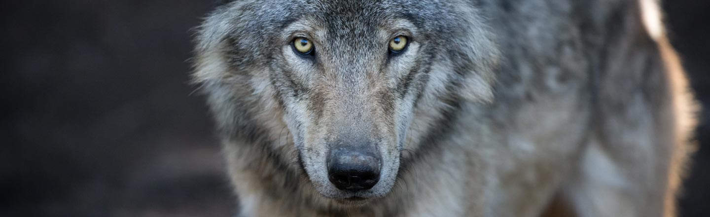 Endangered Wolf Travels 8,700 Miles Looking For Love, Dies Alone