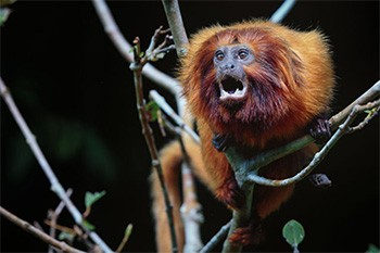 4 Shocking Aspects Of Zoo Animal Robberies Nobody Talks About - a golden tamarin screaming