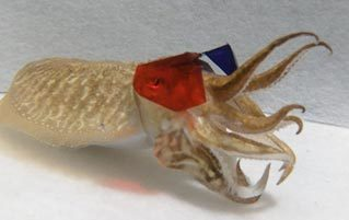 3D Glasses Work On Cuttlefish And It's Adorable