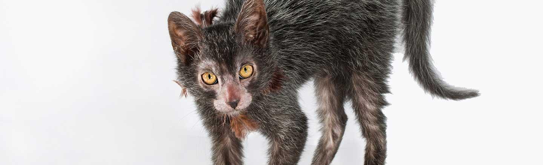 The Werewolf Cat Proves We've Taken Breeding Too Far