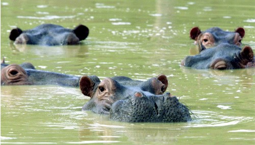 Colombia Has a Huge Hippo Problem Thanks to Pablo Escobar | Pablo Escobar's Hippos