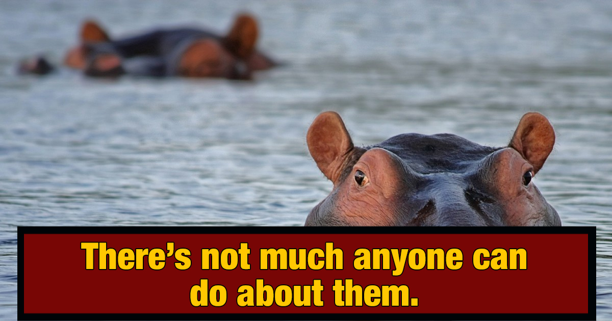 Colombia Has a Huge Hippo Problem Thanks to Pablo Escobar