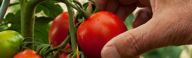 America's Tomatoes Taste Like Garbage (Because Of Racism)