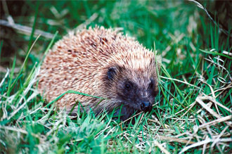 photograph of a hedgehog in the grass